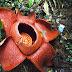 लाशों का फूल: ये हैं दुनिया का सबसे बड़ा फूल, 4 वर्ग फीट में फैला है ये फूल