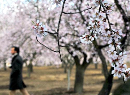 Almendros en flor, parque quinta de los molinos Madrid