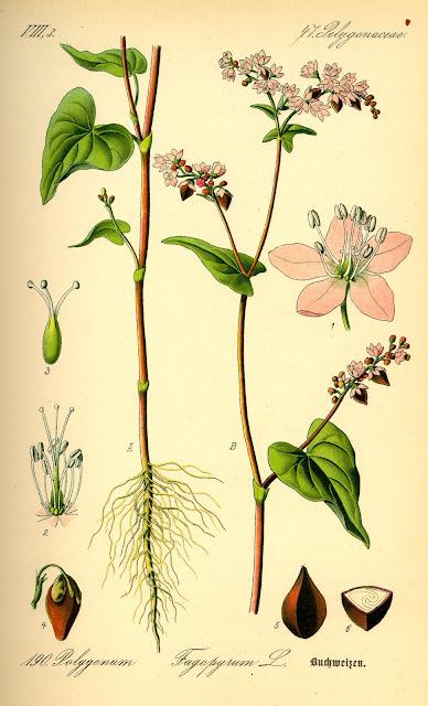 Hình vẽ Mạch ba góc - Fagopyrum esculentum - Nguyên liệu làm thuốc Hạ Huyết Áp