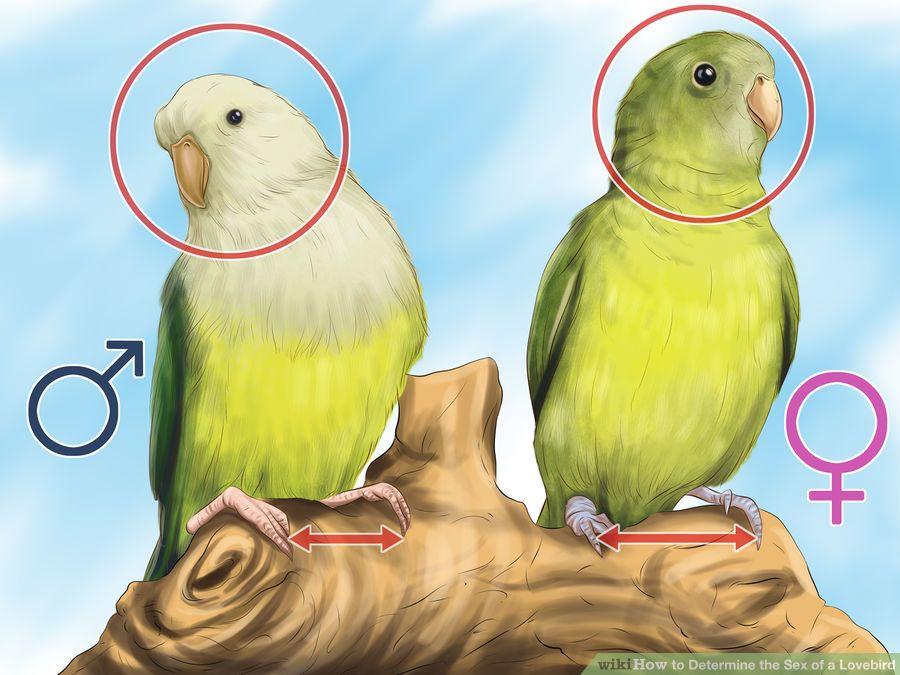 madagaskar papağanı cinsiyeti nasıl anlaşılır