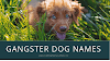 Gangster Dog Names For Male And Female Name List 2020