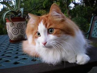 Cara memandikan kucing anggora