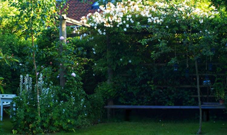 En klatrerose danner tag på pergolaen i haven. Klatrerosen Lykkefund gror smukt på pergola