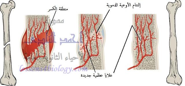 التجدد فى الفقاريات العليا- إلتئام الأوعية الدموية وجبر الكسور (1)