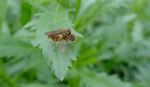 Mating Hoverflies at Brian Piccolo Park