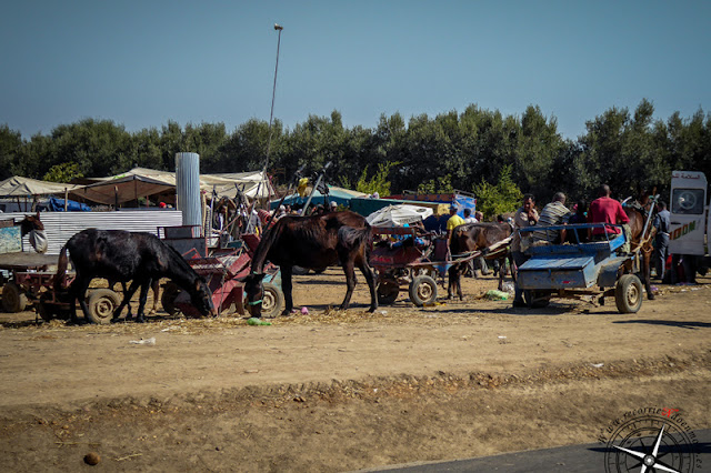 caballos rumiando
