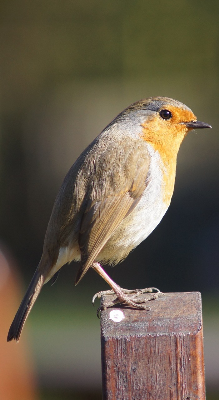Picture of a robin.