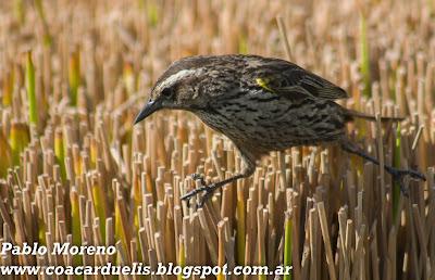 """alt=""""varillero alas amarillas hembra,Agelasticus thilius,aves de Mendoza"""""""