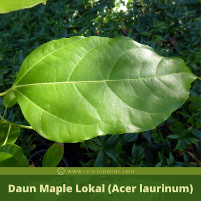 Daun Maple Lokal (Acer laurinum)