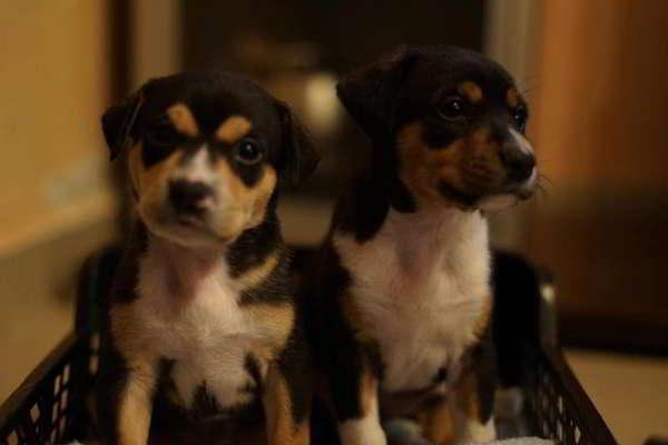 cachorras de tamaño pequeño