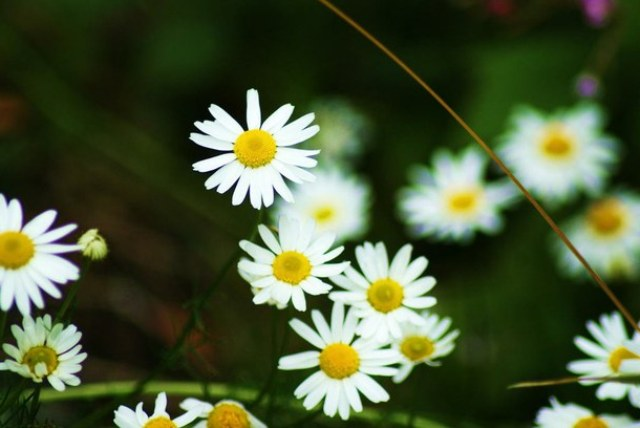 Pictures Of Beautiful Daisy Flowers