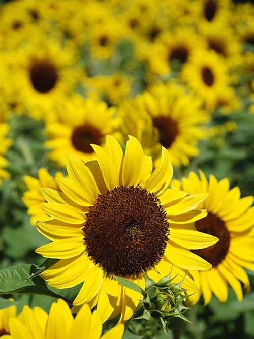 Hoa hướng dương | Yêu hoa đẹp