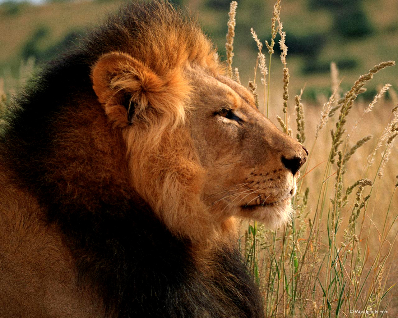 Lion sitting profile - photo#50