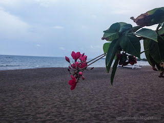 Red Jatropha Integerrima Or Peregrina Flowers Blooming By The Beach At Umeanyar Village, North Bali, Indonesia