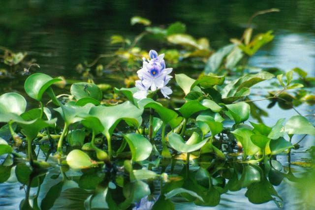 Tanaman tumbuh mengapung dan tanaman tumbuh didasar. Tanaman mengapung misalnya enceng gondok (Eishornia crassipes), kubis-kubisan (Pistia stratioes), dan mata lele (Lemna minor).