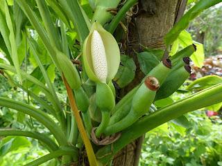 Syngonium auritum - Syngonium à oreillettes