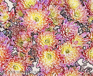 Chrysanthemums Within the Lines