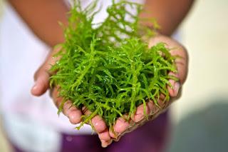 Nutrisi dan Beberapa Manfaat Rumput Laut Bagi Tubuh
