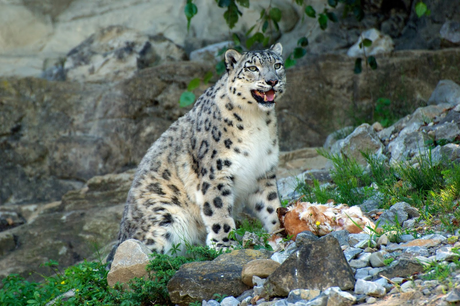Leopardo das Neves (Uncia uncia)