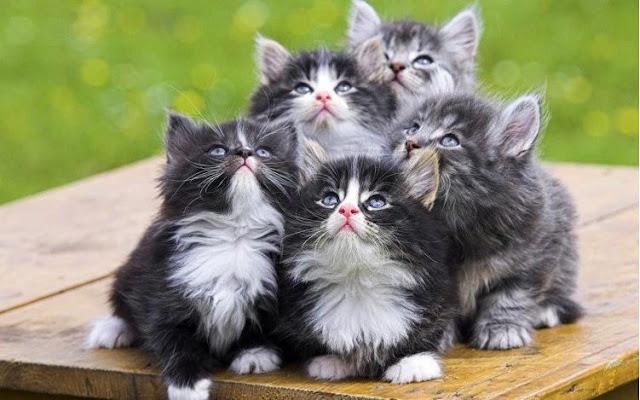 Kumpulan Kitten  Kucing Anggora