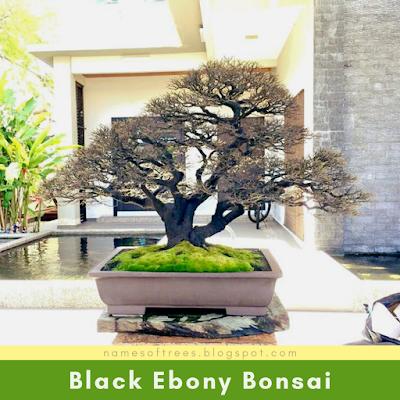 Black Ebony Bonsai
