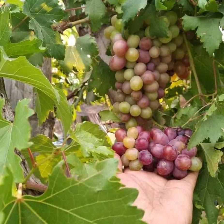 bibit anggur import super dapat 10 pohon Bukittinggi