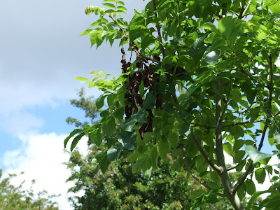 Ash tree showing signs of ash dieback in the blackened leaves