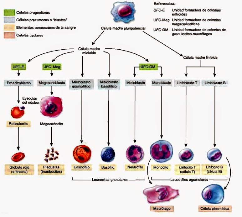 Formación de células sanguíneas