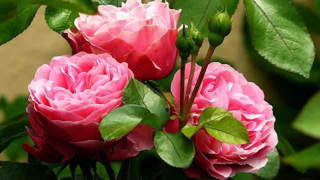 Комнатная роза - залог семейного счастья! http://prazdnichnymir.ru/