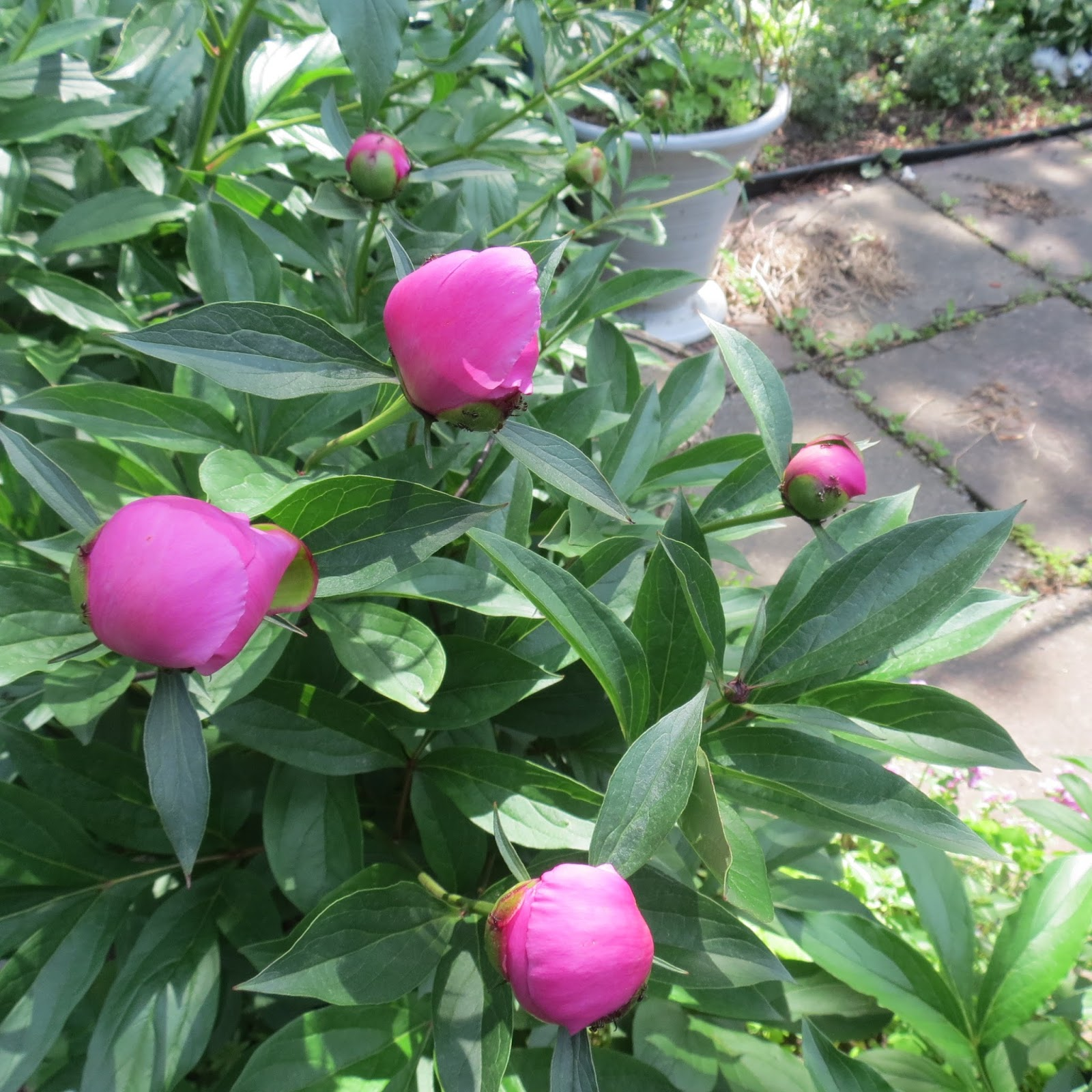 Adventures in pei and beyond what do tiny ants do for flowers and i planted a few peony shrubs years ago in my garden every year around the beginning of june we look forward to seeing the bright pink flowers blooming and mightylinksfo