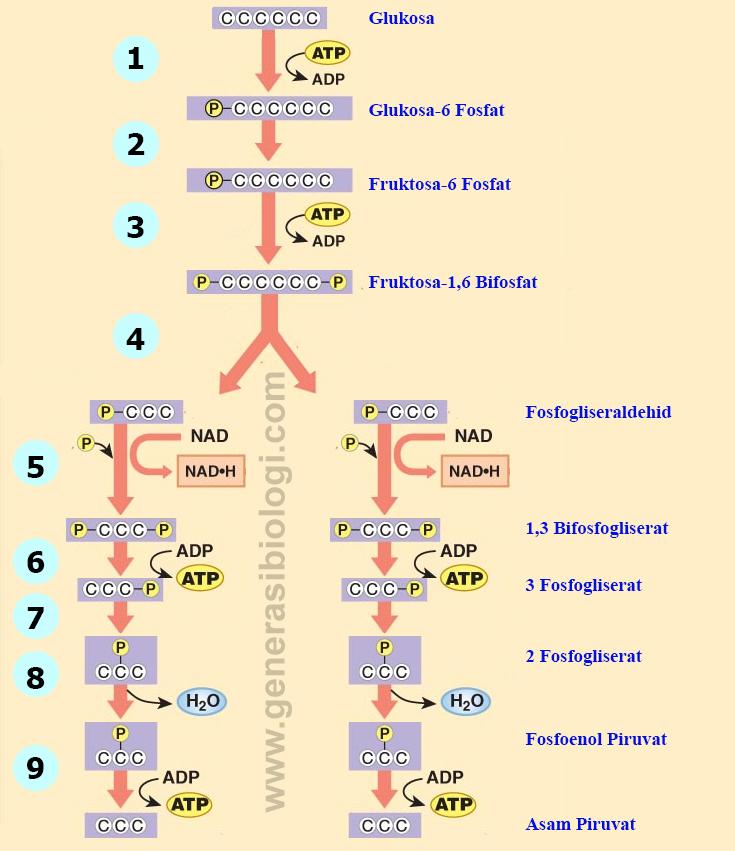 Rangkuman Biologi tentang METABOLISME