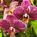 Cum îngrijești orhideea Phalaenopsis