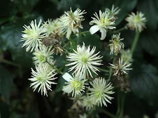 Clemátide, hierba del pordiosero (Clematis vitalba)