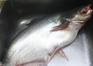 Klasifikasi Ikan Patin dan Morfologi Ikan Patin (Pangasius pangasius)