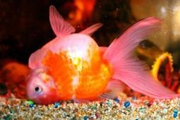 Cara Memberi Makan Ikan Mas Koki Dі Akuairium