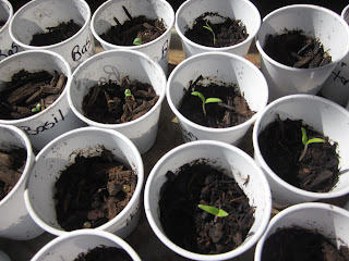 The seedlings have sprouted.