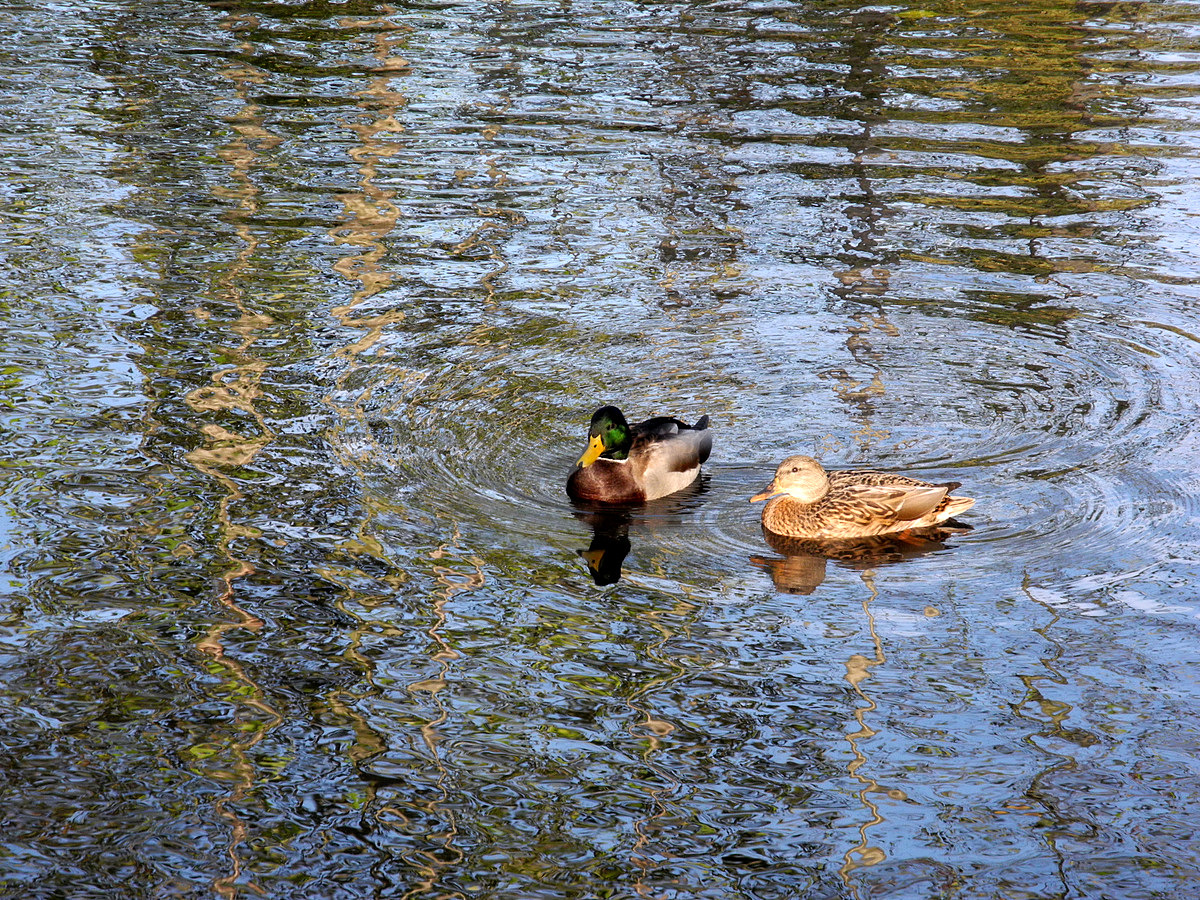 Wanderin' Weeta (With Waterfowl and Weeds): Mostly mallards