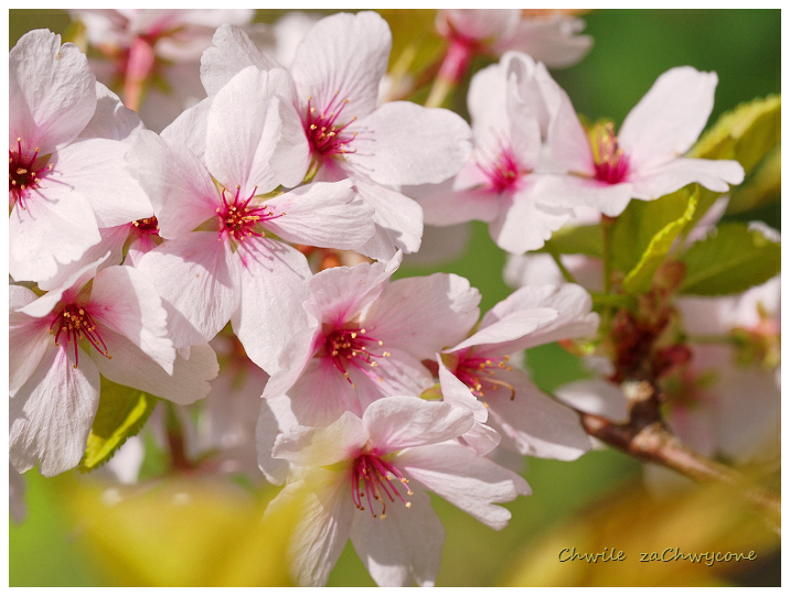 kwiaty wiśni, kwitnąca wiśnia