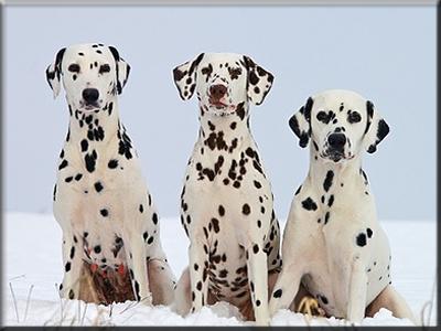 perros razas de perros