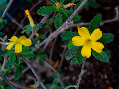Damiana (Turnera Diffusa) Overview, Health Benefits, Side effects