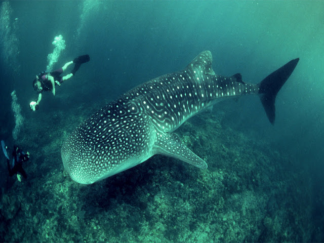 Download whale shark wallpaper