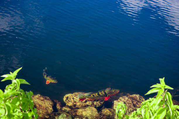 Peacock Bass Fishing – Ready for an  Adventure