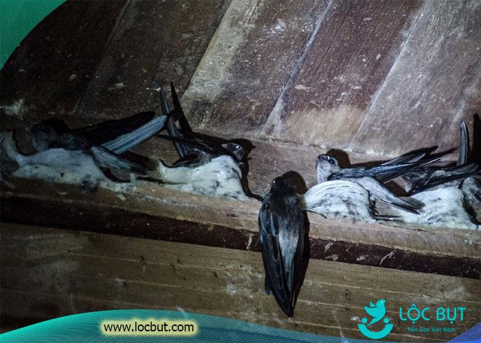 chim yến bên trong nhà yến thành công.