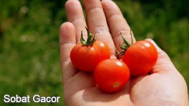 Manfaat Tomat Untuk Ayam Aduan
