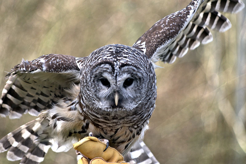 Things You Never Knew About Owls