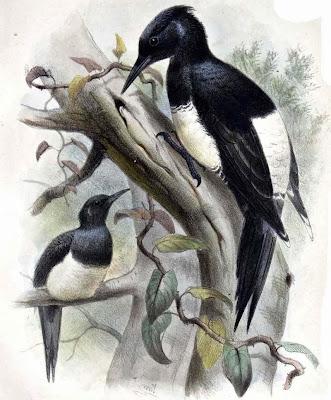 Picamaderos vientre blanco Dryocopus javensis