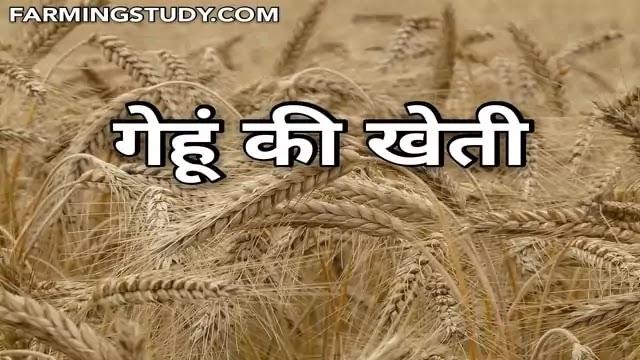 गेहूँ की खेती (gehu ki kheti) कैसे करें, जाने पूरी जानकारी हिन्दी में, गेहूं की उन्नत खेती कब एवं कैसे करे, गेहूं की प्रजातियां, Cereal Crops in hindi
