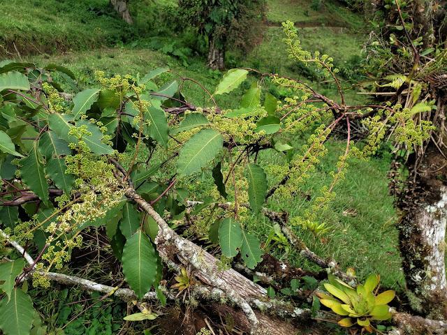 araliaceae schifflera sp1.  flower costa rica