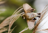 Southern Red Bishop Female in Flight - Copyright Vernon Chalmers