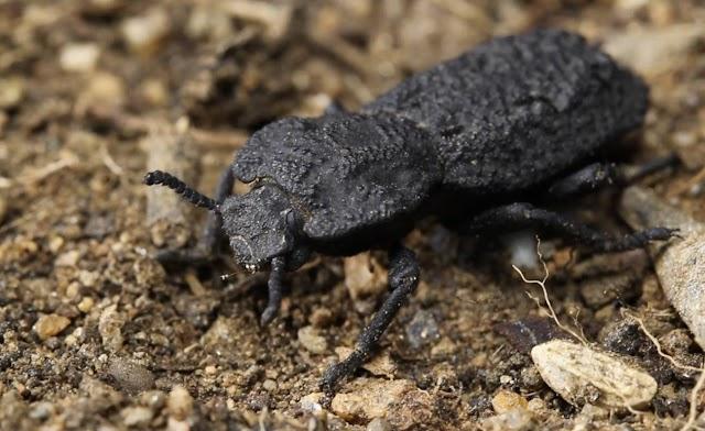 Coraza del escarabajo diabólico acorazado inspira el diseño de nuevas estructuras aeronáuticas